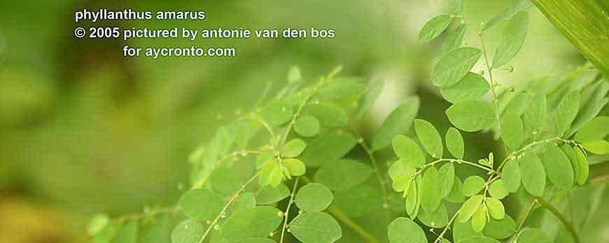 Phyllanthus Amaris (Chanca piedra)